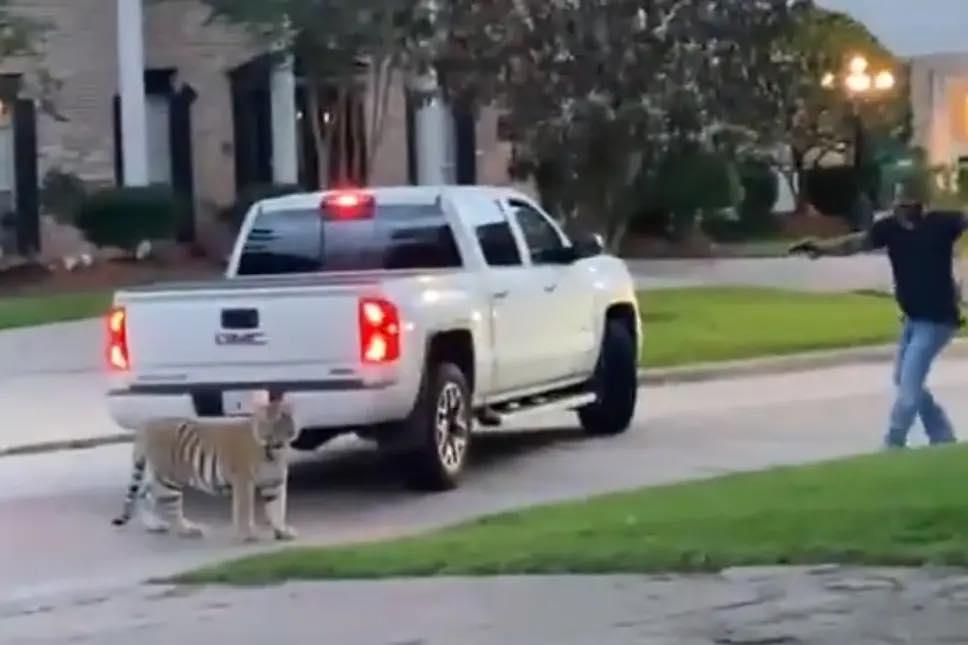 Tiger - Deputy